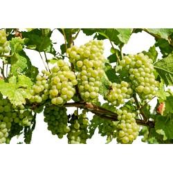 0,5 l Bio ocet z bílého vína