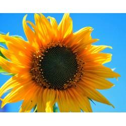 100 g Slunečnicová semínka BIO, Bulharsko